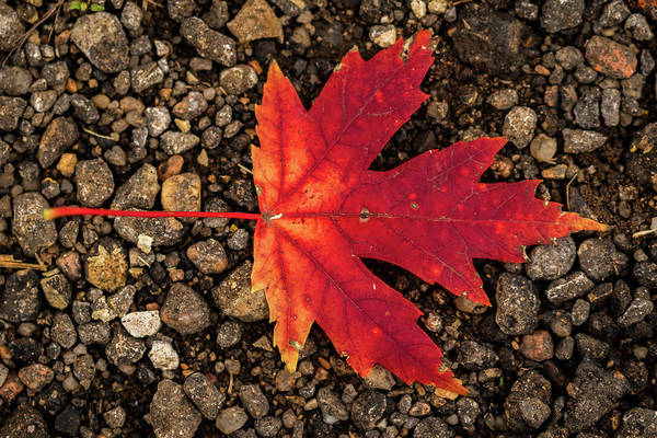 Photograph - Maple Leaf by Jay Stockhaus