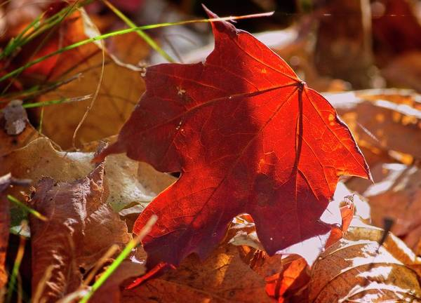 Photograph - Maple Leaf On Fire by Garvin Hunter