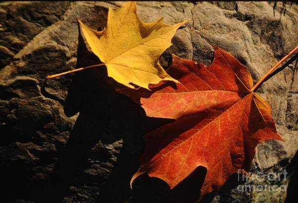 Wall Art - Photograph - Maple Leaf Pair On Shadowy Rock by Anna Lisa Yoder
