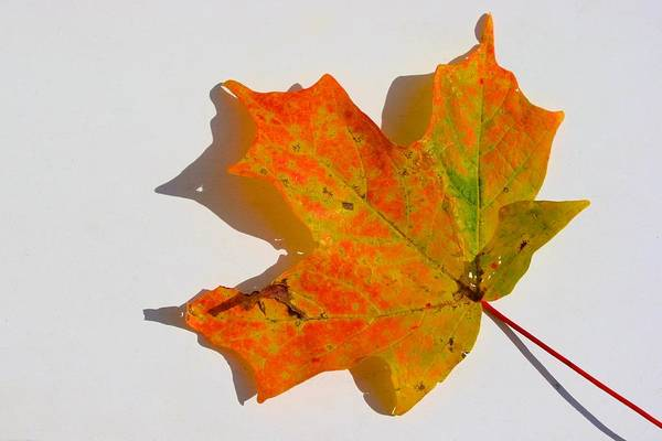 Photograph - Maple Leaf Portrait by Polly Castor