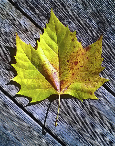 Photograph - Maple Leaf by Roger Bester