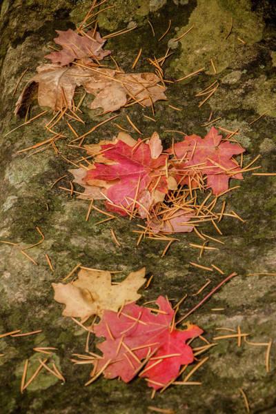 Photograph - Maple Leaves 4 by Teresa Wilson