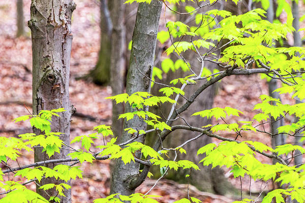Photograph - Maple Leaves And Trees by SR Green