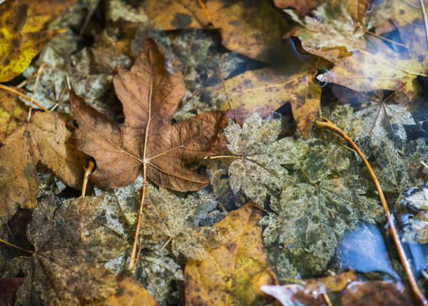 Photograph - Maple Leaves In Water by Robert Potts