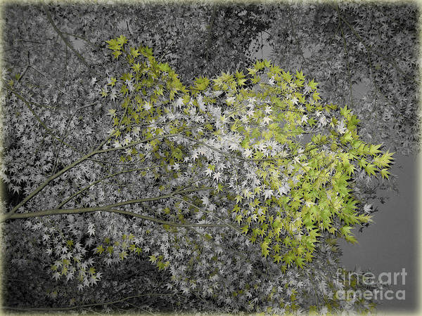 Photograph - Maple Leaves by Eena Bo