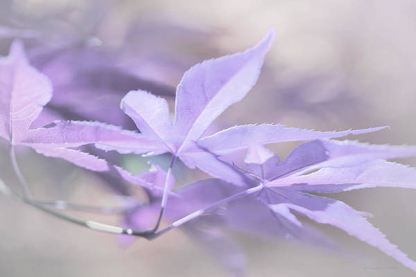 Wall Art - Photograph - Maple Leaves Lavender Pastel Abstract by Jennie Marie Schell