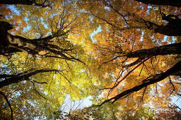 Photograph - Maple Limbs Reaching by Alana Ranney