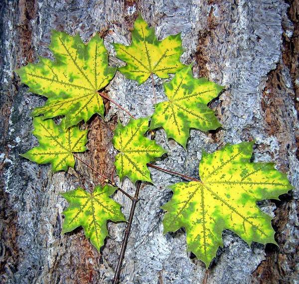 Photograph - Maple Mania 12 by Will Borden