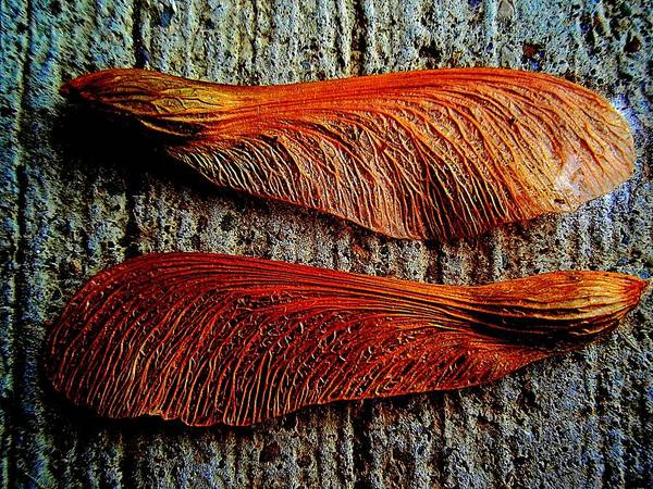 Photograph - Maple Seed Pair by Beth Akerman