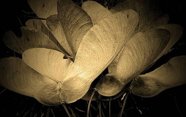 Maple Seeds 2011 Art Print