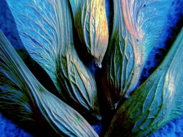 Photograph - Maple Seeds In Blue by Beth Akerman