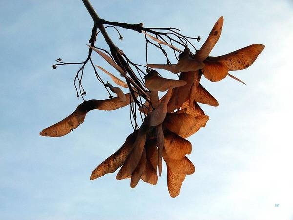 Wall Art - Photograph - Maple Seeds by Will Borden