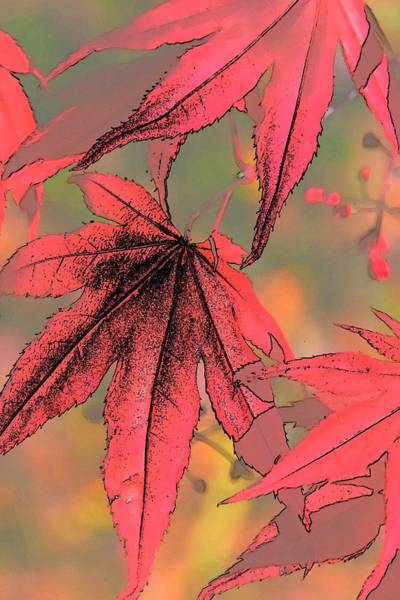Photograph - Maple Sketch 2 by Jerry Sodorff