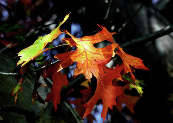 Photograph - Maple Spirit by Nicholas Blackwell