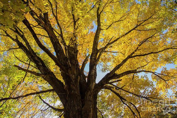 Photograph - Maple Tree by Alana Ranney