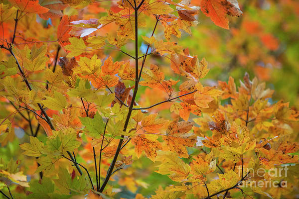 Photograph - Maple Tree Fall Color Foliage by Dale Powell