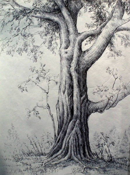 Maple Drawing - Maple Tree by Georges St Pierre