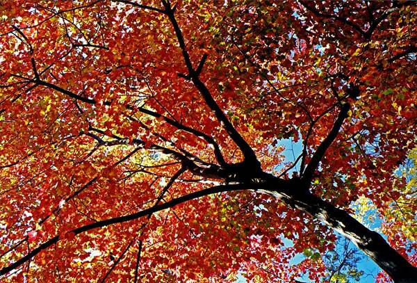 Photograph - Maple Tree In Autumn Glow by Juergen Roth