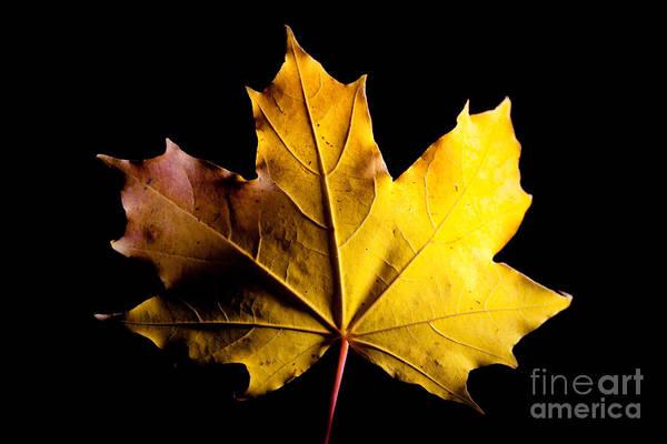 Photograph - Mapple Autumn Leave by Raimond Klavins