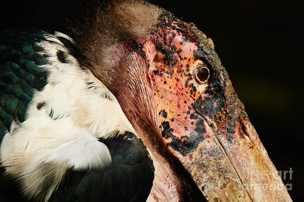 Photograph - Marabou Stork Closeup Against A Dark Background by Nick  Biemans