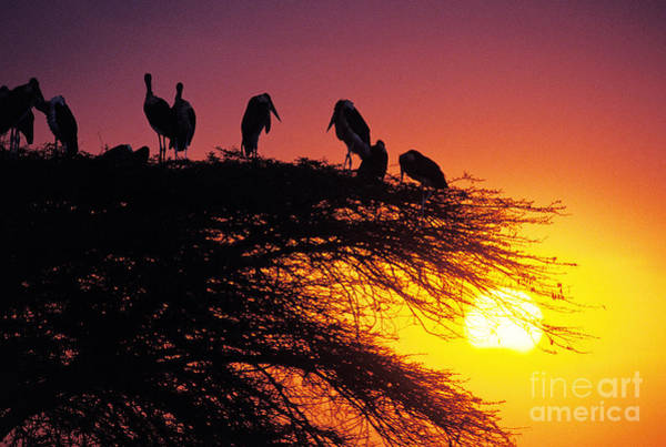 The Rookery Wall Art - Photograph - Marabou Stork Group by Gerard Lacz
