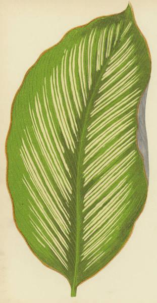 Leaf Venation Wall Art - Painting - Maranta Alba Lineata by English School