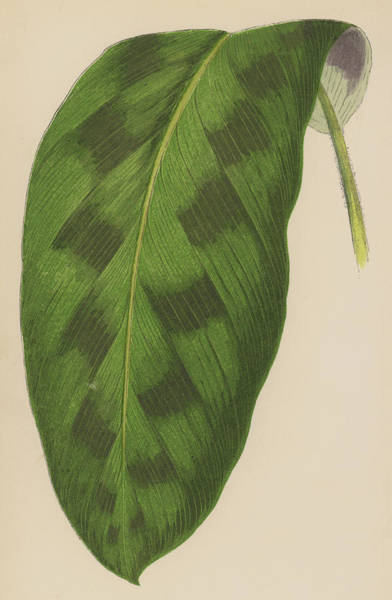 Leaf Venation Wall Art - Painting - Maranta Pardina by English School