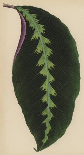 Leaf Venation Wall Art - Painting - Maranta Warsewiczii by English School