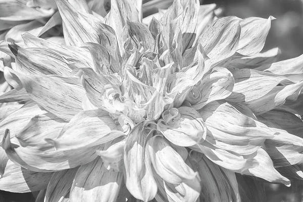 Photograph - Marbled Dahlia, No. 1 Bw by Belinda Greb