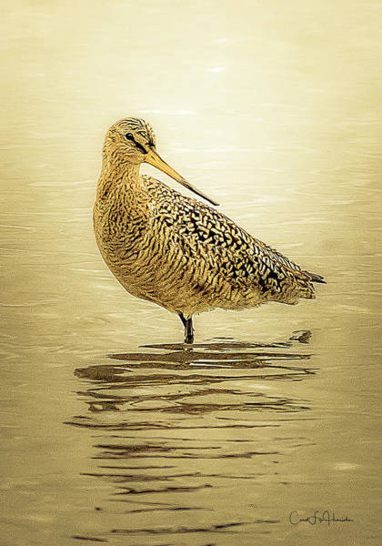 Digital Art - Marbled Godwit - Backward Glance by Carol Fox Henrichs