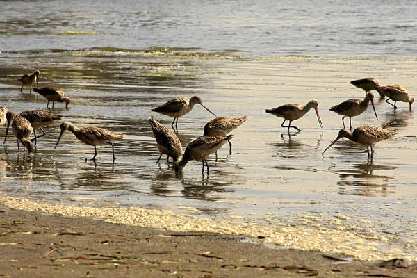 Shorebird Photograph - Marbled Godwit Birds At Sunset by Christine Till
