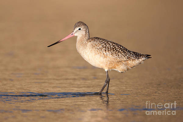 Scolopacidae Photograph - Marbled Godwit I by Clarence Holmes