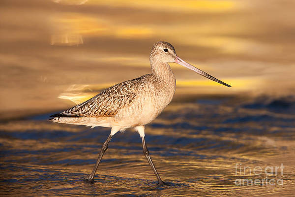 Photograph - Marbled Godwit IIi by Clarence Holmes