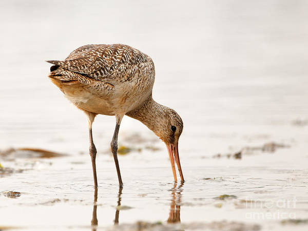 Photograph - Marbled Godwit - Little Feast by Sue Harper