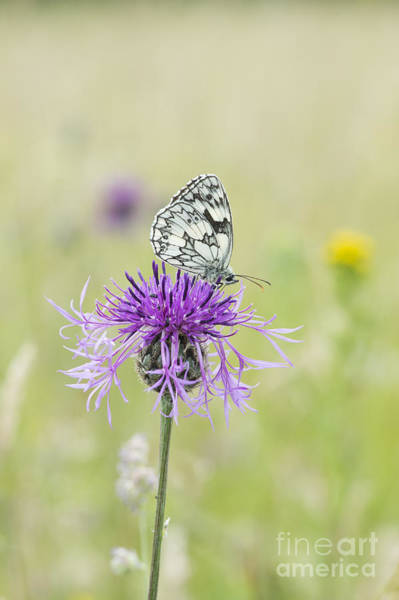 Photograph - Marbled White Butterfly by Tim Gainey