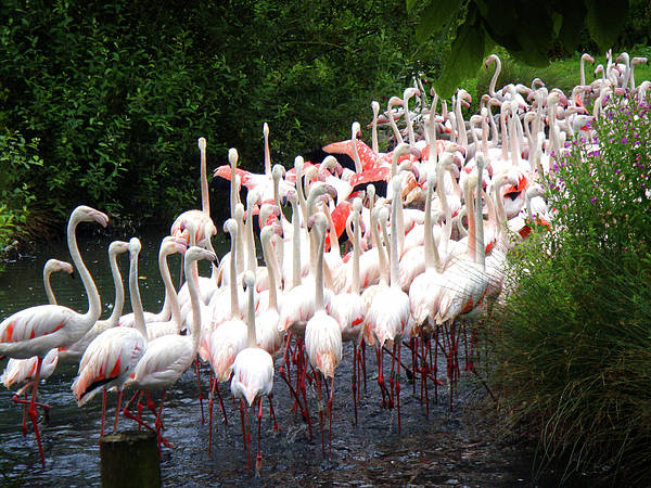 Photograph - March Of The Flamingos by Roberto Alamino