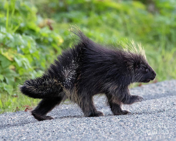 Strolling Photograph - March Of The Porcupine by Mike Dawson