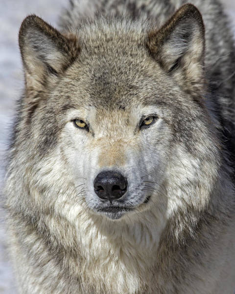 Timberwolves Photograph - March by Tony Beck