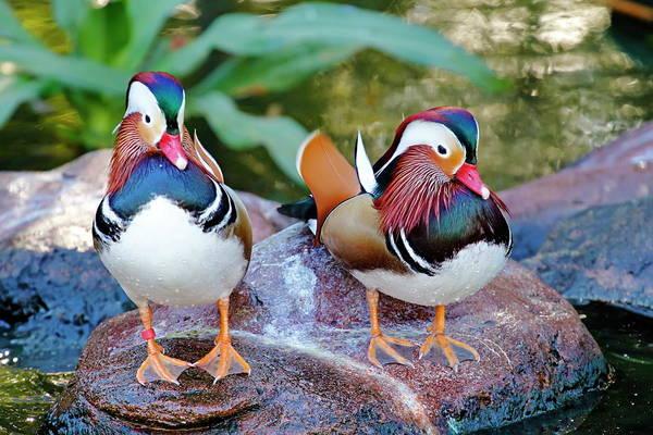 Nfs Photograph - Mardarin Duck Friends by Daniel Caracappa