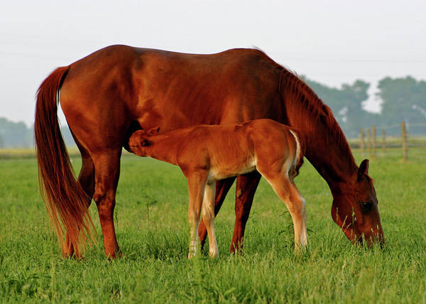 Photograph - Mare And Foal 3389 H_2 by Steven Ward