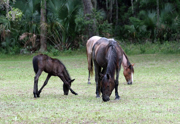 Photograph - Mare And Foal On Cumberland Island by D Hackett