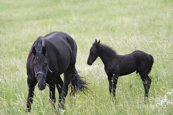 Wall Art - Photograph - Mare With Black Colt On A Meadow by Michal Boubin