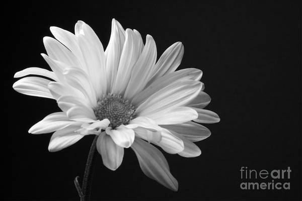 Photograph - Marguerite Daisy by Kelly Holm