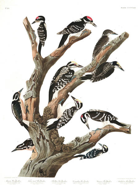 Wall Art - Painting - Marias Woodpecker by John James Audubon