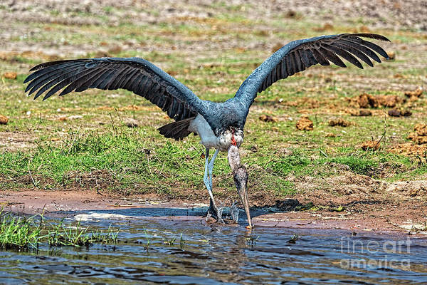Photograph - Maribou Stork by Kay Brewer