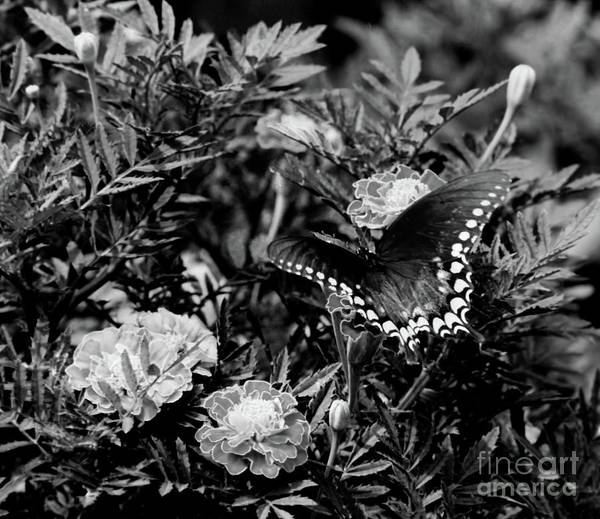Photograph - Marigold And Swallowtail In Black And White by D Hackett