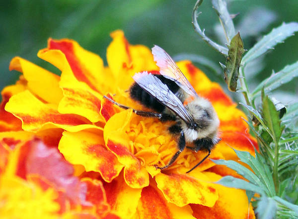 Photograph - Marigold And The Bee by Jennifer Robin
