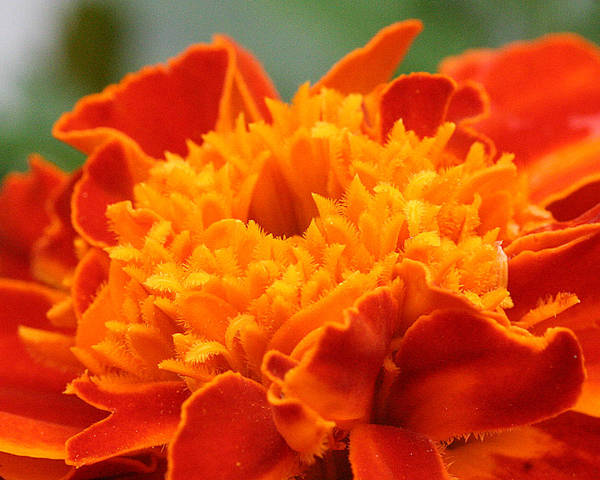 Photograph - Marigold Center by William Selander
