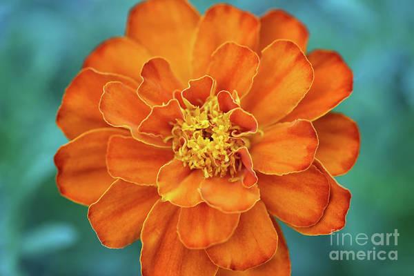 Photograph - Marigold by Karen Adams