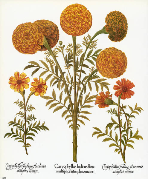 Aztec Photograph - Marigolds, 1613 by Granger